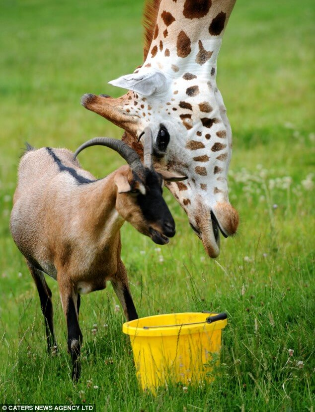 Ziege und Giraffe