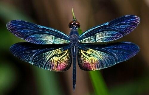 Libellen: Wissenswwertes über dieses großartige Insekt