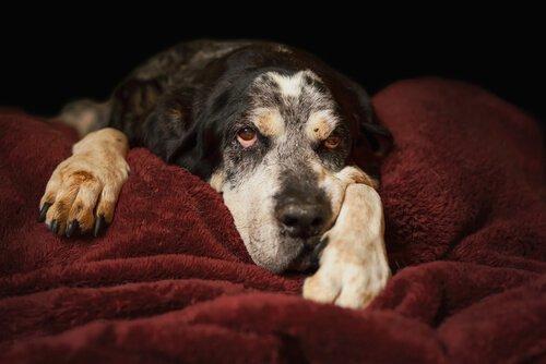 Älterer Hund liegt auf Decke