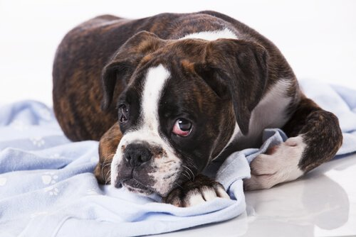 Ansteckende Tumore bei Hunden: ist das möglich?