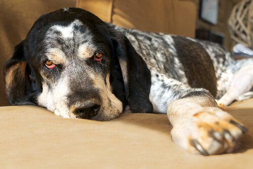 Apathie durch Fieber beim Hund