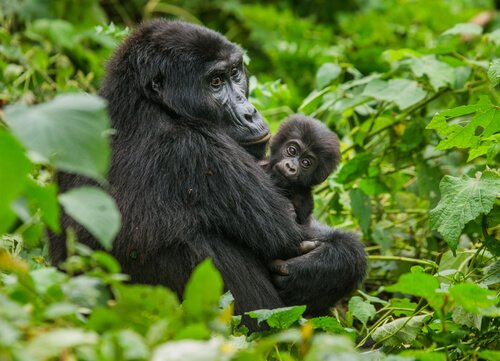 Berggorillas in Virunga