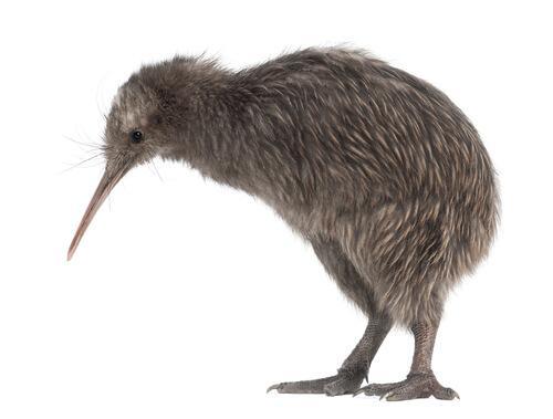 Der Vogel, der nicht fliegt hat nur sehr kurze Flügel.