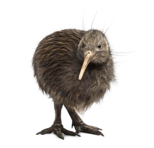 Der Vogel, der nicht fliegt hat sich an das terrestrische Leben angepasst.