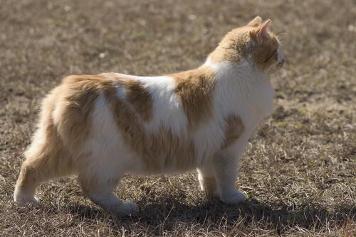 Die Cymric-Katze hat keinen oder nur einen sehr kurzen Schwanz.