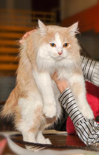 Die Cymric-Katze hat verschiedene Fellfarben.