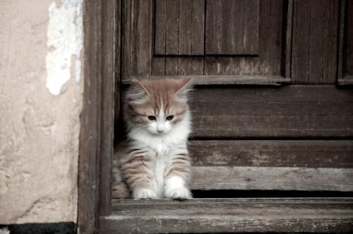 Die Cymric-Katze, eine Langhaarkatze ohne Schwanz