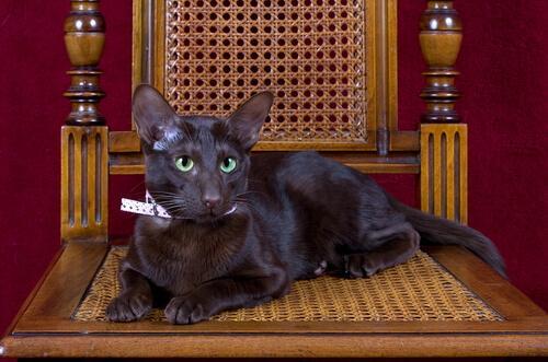 Die Havana-Katze - eine Katze wie Tabak und Kaffee