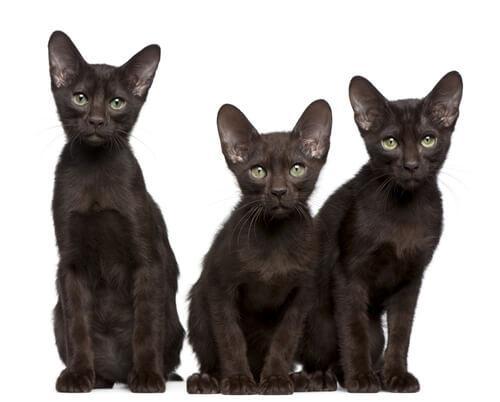 Die Havana-Katze hat grüne Augen.