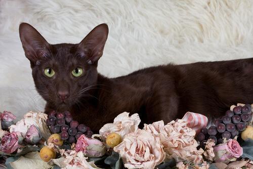 Die Havana-Katze stammt nicht aus Kuba.