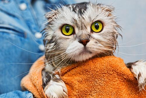 Katzen baden - Daran kann man sie von klein auf gewöhnen.
