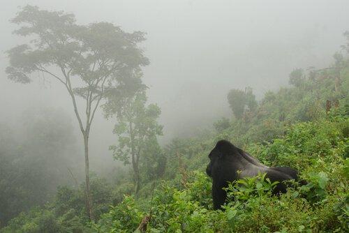 Die Population der Berggorillas erreicht 1.000 Exemplare