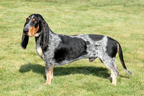 Die Spürhunde: Basset bleu de Gascogne
