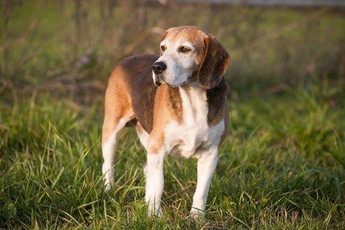 Die Spürhunde: English Foxhound