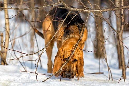 Die Spürhunde: St. Hubertushund