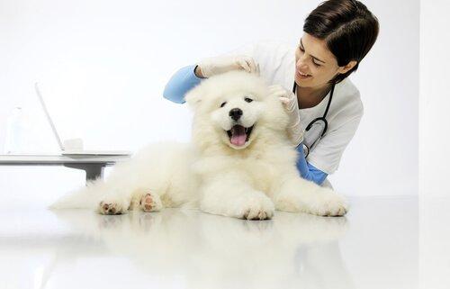 Dirofilariose bei Hunden: Diagnose
