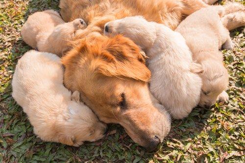 Erschöpftes Muttertier mit Welpen