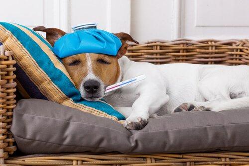 Fieber beim Hund mit Eisbeutel senken