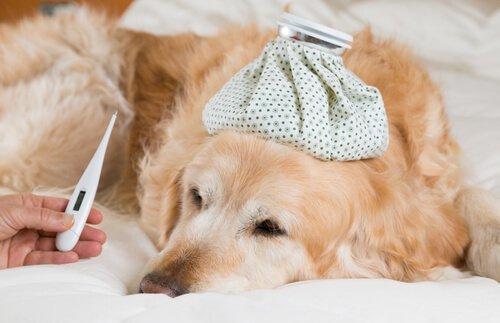 Fieber beim Hund: Symptome und Behandlung