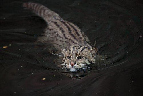 Die vom Aussterben bedrohte Fischkatze