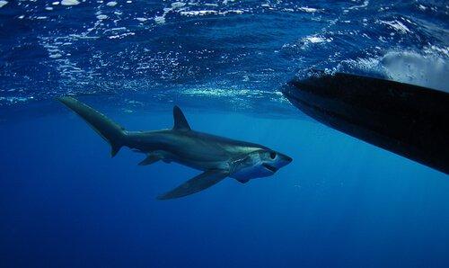 Drescherhai