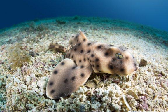 Hornhai: Lebensraum und Merkmale