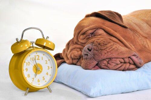 Hund schläft neben Wecker