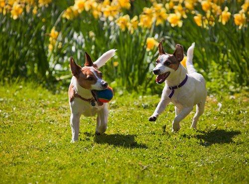 Hunde im Garten spielen lassen