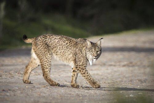 Iberischer Luchs ist vom Aussterben bedroht