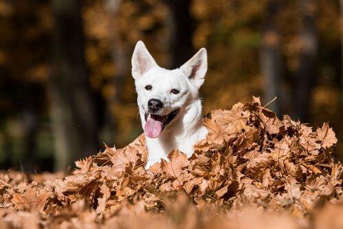 Kanaan-Hund schaut aus dem Laub