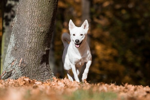 Kanaan-Hund: wildlebend für viele Generationen