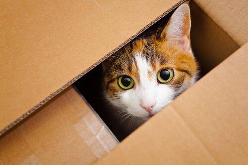 Katze lugt aus der Kiste