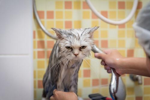 Katzen baden - in entspannter Atmosphäre