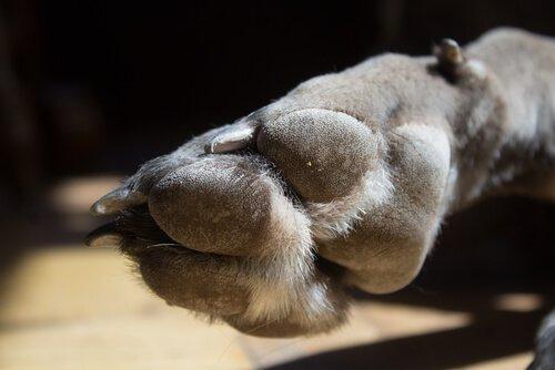 Pfote eines Mastiffs