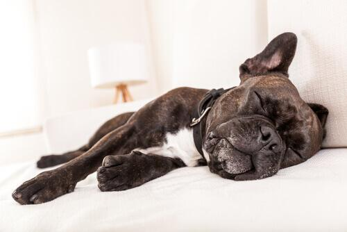 Megaösophagus bei Hunden muss diagnostiziert werden.