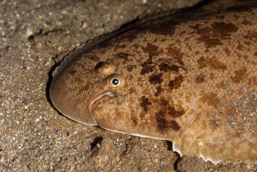 Plattfische Unterscheiden