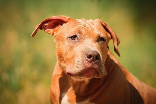 potenziell gefährliche Hunderassen
