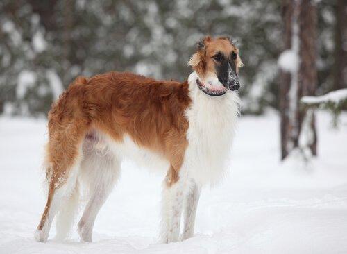 Russischer Windhund im Schnee