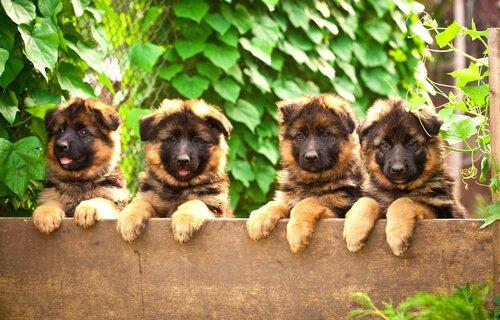 Schäferhund-Welpen schauen über eine Mauer