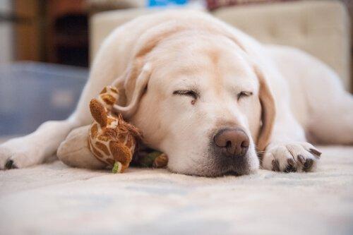 Schlaflosigkeit bei Hunden