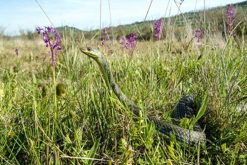 Schlange im Gras