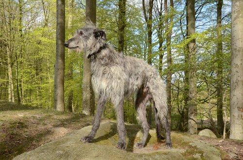 Schottischer Windhund im Wald