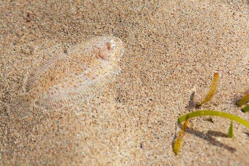 Plattfisch versteckt sich im Sand
