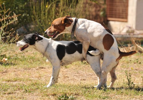 Sexualität bei Hunden: Paarung