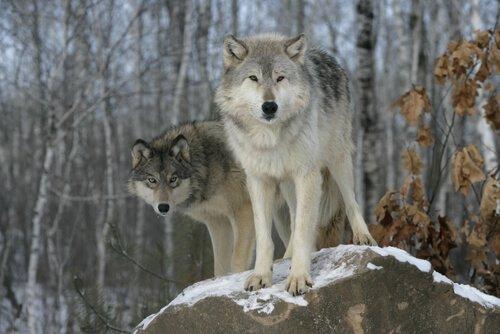 Taxonomie des Haushundes und der Wölfe