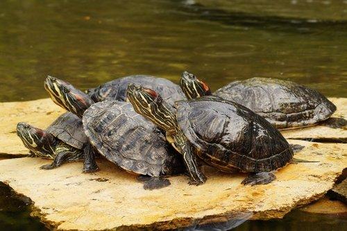 Wasserschildkröte als Haustier: Rotwangen-Schmuckschildkröte
