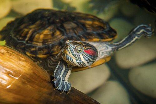 Wasserschildkröte als Haustier? Wissenswertes und Tipps