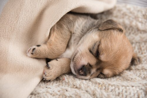 Welpe schläft zugedeckt