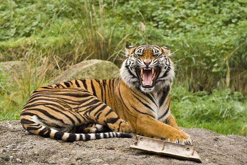 Die größten Katzen der Welt: 5 Unterarten des Tigers