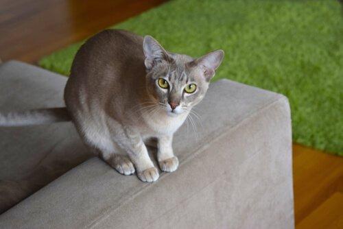 Tonkanese Katze